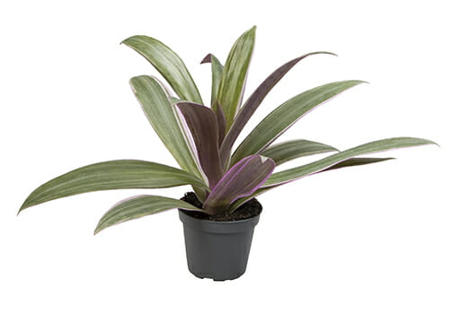 LUNDAGERPLANTS