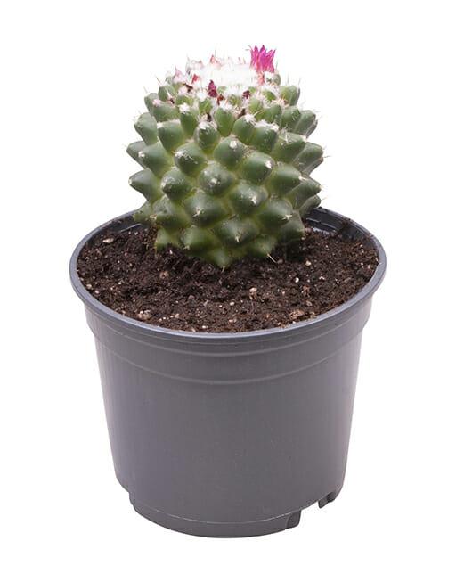 Mammillaria Magnimamma Tuluca
