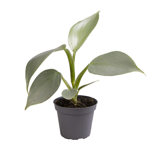 Philodendron Silver Queen